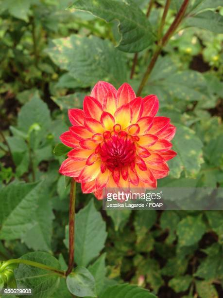 close-up of flower - lagarde stock photos and pictures