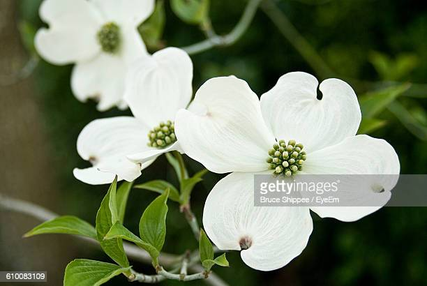 Close-Up Of Flowering Dogwoods Blooming Outdoors