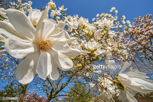 Closeup of flowering Magnolia stellata Two Stones / star magnolia showing white flowers in spring