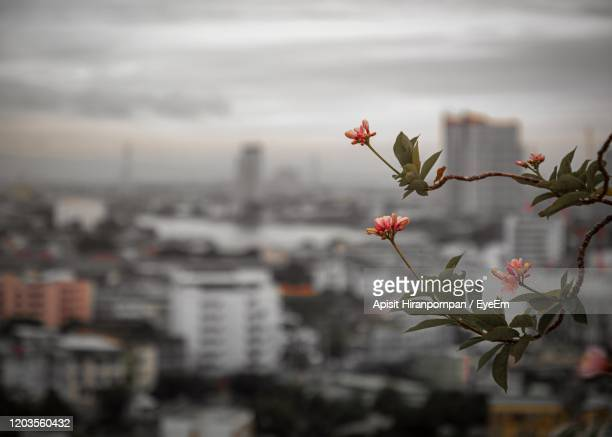 close-up of flowering plant against buildings in city - apisit hiranpornpan stock pictures, royalty-free photos & images