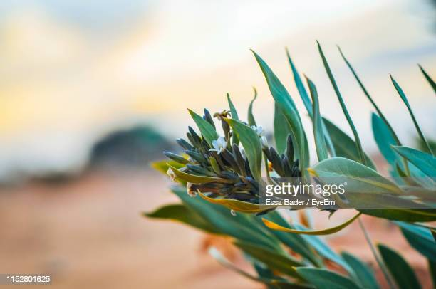 close-up of flowering plant against sky - riyadh stock pictures, royalty-free photos & images