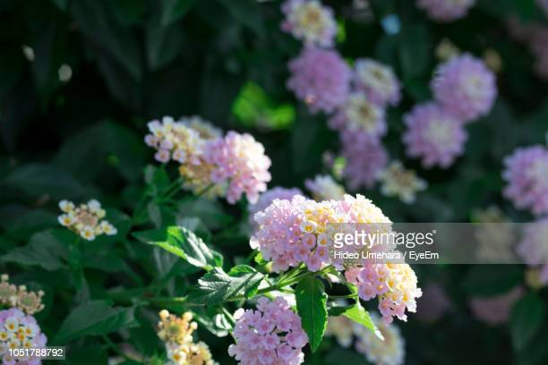close-up of flowering plant in park - lantana stock pictures, royalty-free photos & images