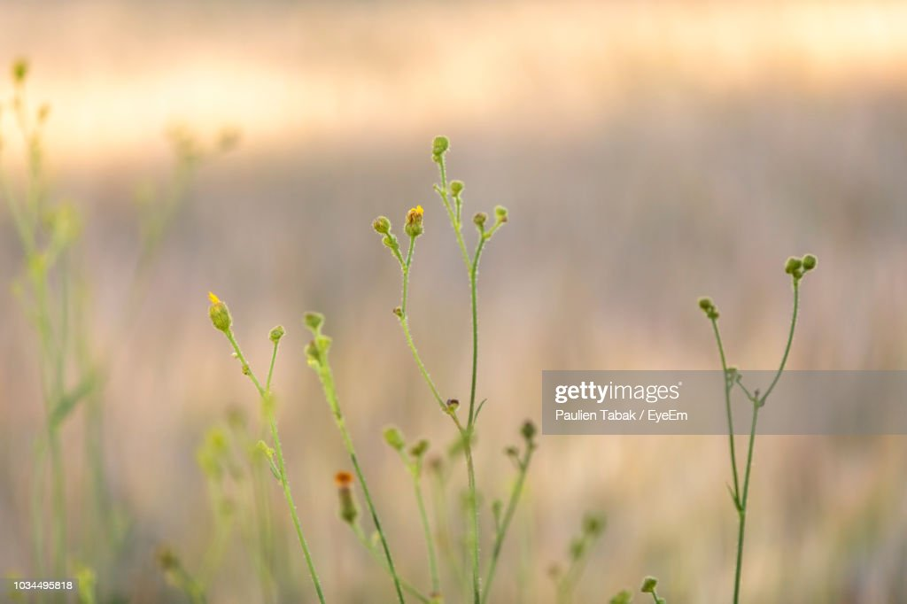 Close-Up Of Flowering Plant On Field : Stockfoto
