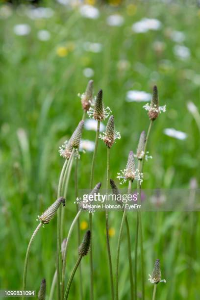 close-up of flowering plant on field - チープヴァル ストックフォトと画像
