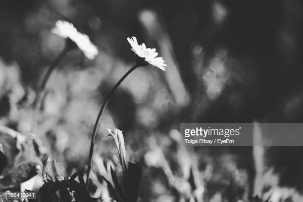 close-up of flowering plant on field - tolga erbay stock photos and pictures