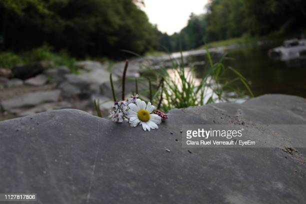 close-up of flowering plant on rock - ruel stock pictures, royalty-free photos & images