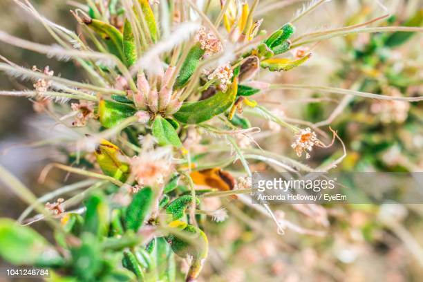 close-up of flowering plant - mt charleston stock photos and pictures