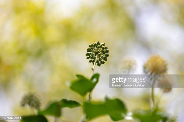close-up of flowering plant - paulien tabak stock pictures, royalty-free photos & images