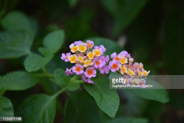 close-up of flowering plant - lantana stock pictures, royalty-free photos & images