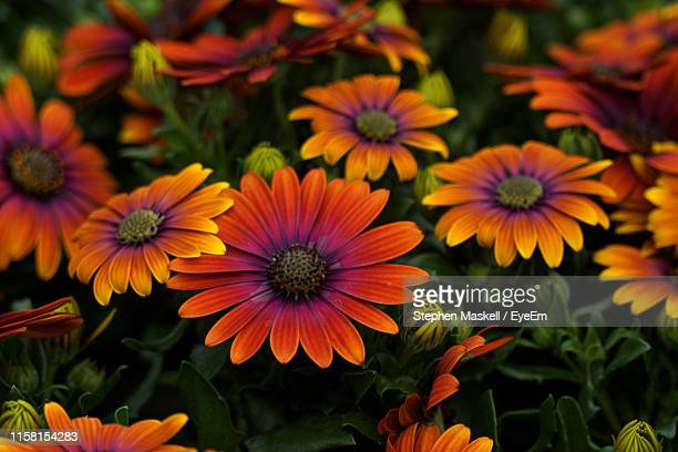 close-up of flowering plant - daisy maskell stock pictures, royalty-free photos & images