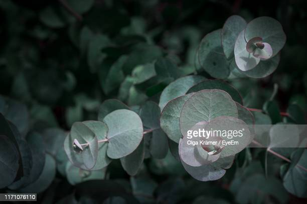 close-up of flowering plant - eucalyptus tree stock pictures, royalty-free photos & images
