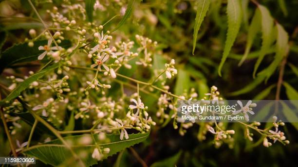 close-up of flowering plants against blurred background - neem tree stock pictures, royalty-free photos & images