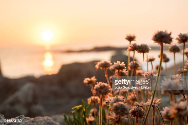 close-up of flowering plants by sea against sky during sunset - eyeem stock pictures, royalty-free photos & images