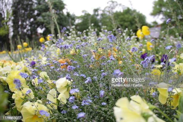 close-up of flowering plants in field - nancy stock pictures, royalty-free photos & images