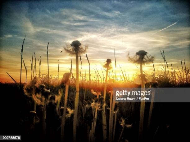 close-up of flowering plants on field against sky during sunset - baum stock pictures, royalty-free photos & images