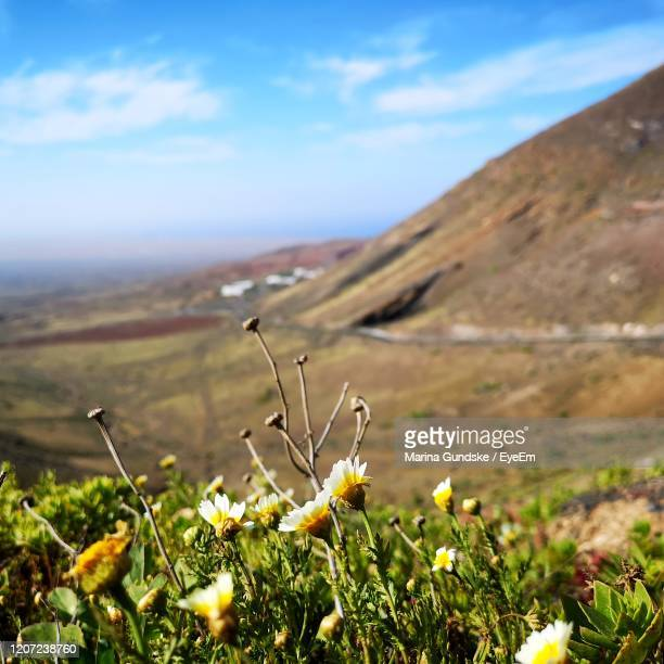 close-up of flowering plants on field against sky - puerto del carmen stock pictures, royalty-free photos & images