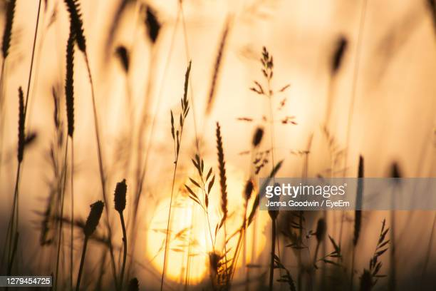 close-up of flowering plants on field against sunset sky - rye grain stock pictures, royalty-free photos & images