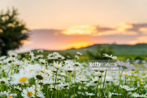 close-up of flowering plants on field during sunset - fiore di campo foto e immagini stock