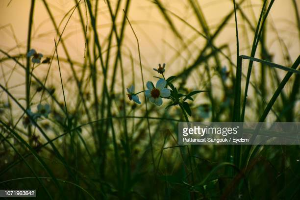 close-up of flowering plants on field - pattanasit stock pictures, royalty-free photos & images