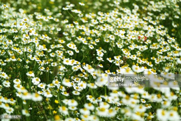 close-up of flowering plants on field - tolga erbay stock photos and pictures