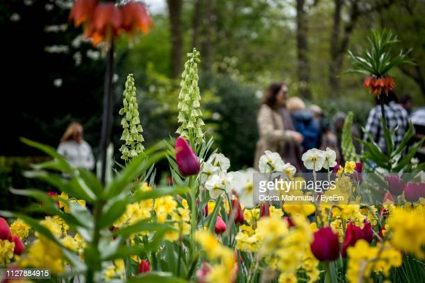 close-up of flowering plants with people in background at forest - keukenhof gardens stock pictures, royalty-free photos & images