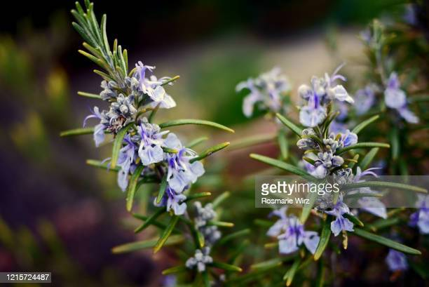 close-up of flowering rosemary twigs - rosemary stock pictures, royalty-free photos & images