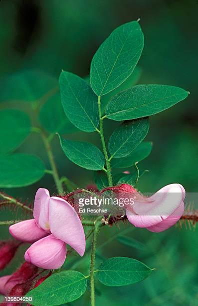 Closeup of flowering shrub of Bristly Locust, Robinia hispida, Great Smoky Mountains, USA