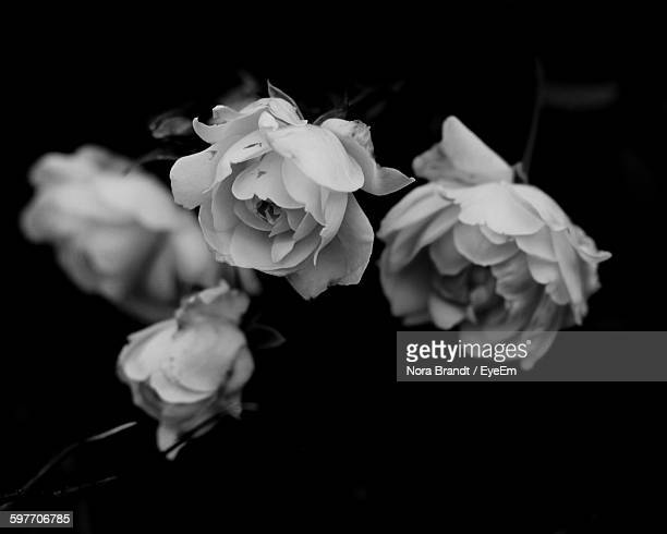 Close-Up Of Flowers Against Black Background