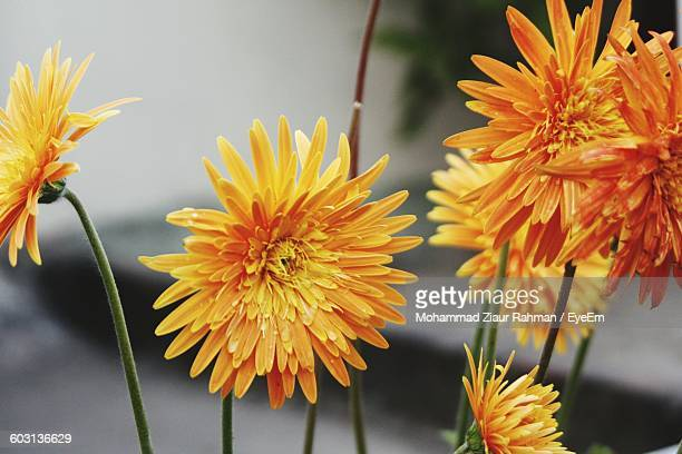close-up of flowers against blurred background - ziaur rahman stock pictures, royalty-free photos & images