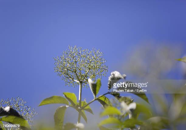 close-up of flowers against clear blue sky - paulien tabak stock pictures, royalty-free photos & images