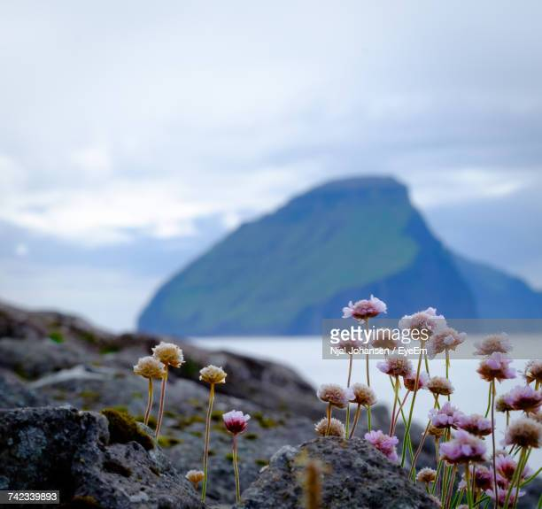 Close-Up Of Flowers Against Mountain