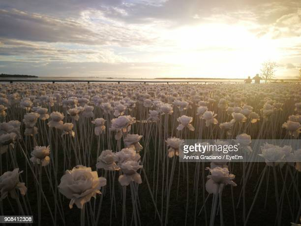 close-up of flowers against sky during sunset - cebu stock photos and pictures