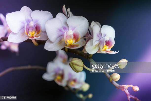 Close-Up Of Flowers Blooming Against Black Background