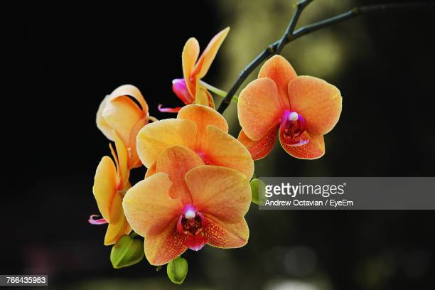 close-up of flowers blooming against black background - orchidea foto e immagini stock