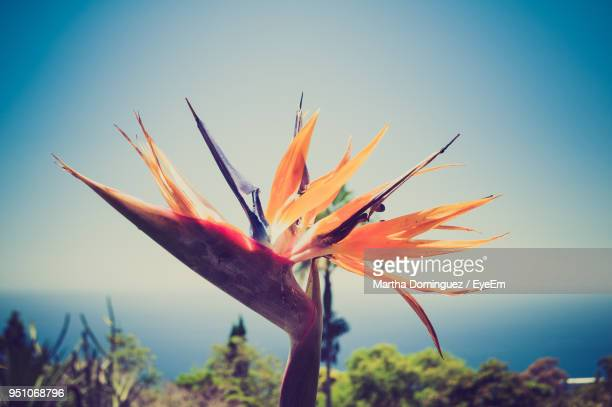 close-up of flowers blooming against clear sky - funchal stock pictures, royalty-free photos & images