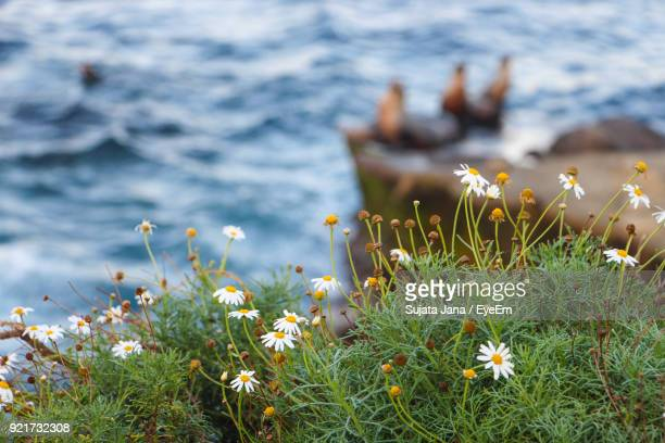 Close-Up Of Flowers Blooming By Lake