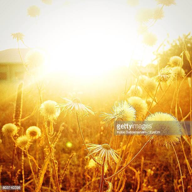 Close-Up Of Flowers Blooming In Field During Sunrise