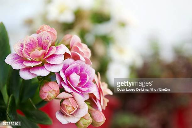 Close-Up Of Flowers Blooming In Garden