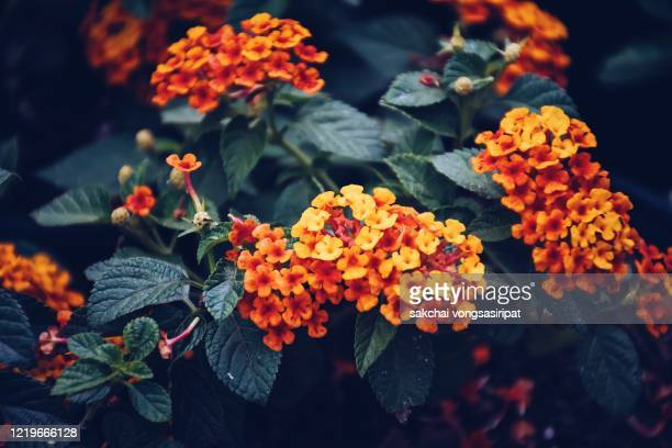 close-up of flowers blooming outdoor - lantana stock pictures, royalty-free photos & images