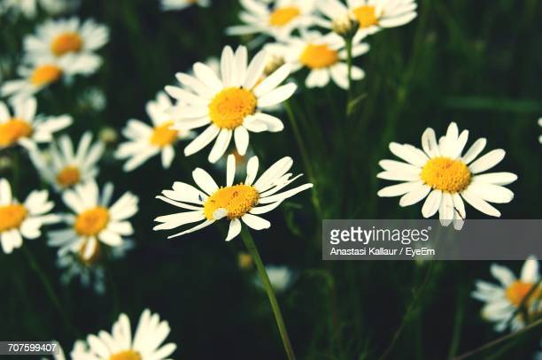 close-up of flowers blooming outdoors - anastasi foto e immagini stock