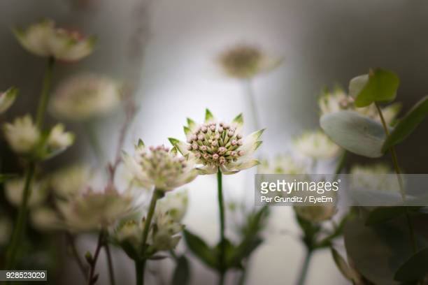 close-up of flowers blooming outdoors - per grunditz stock pictures, royalty-free photos & images