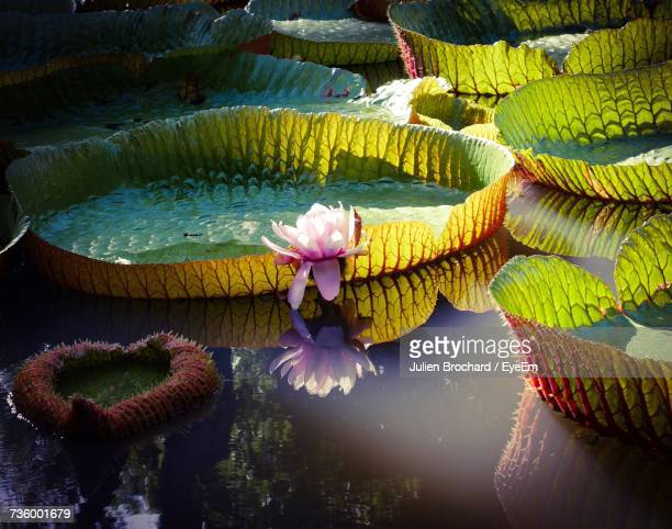 close-up of flowers floating on water - ile maurice photos et images de collection
