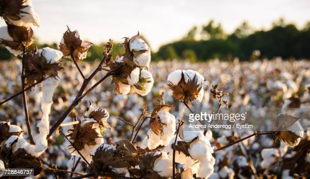close-up of flowers growing on field against sky - cotton stock pictures, royalty-free photos & images