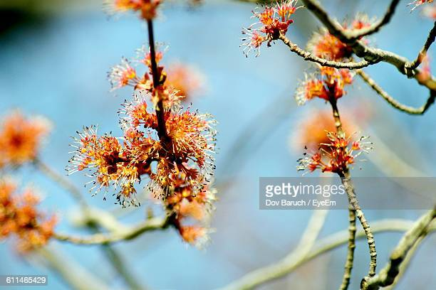 close-up of flowers growing on tree - barulho stock pictures, royalty-free photos & images