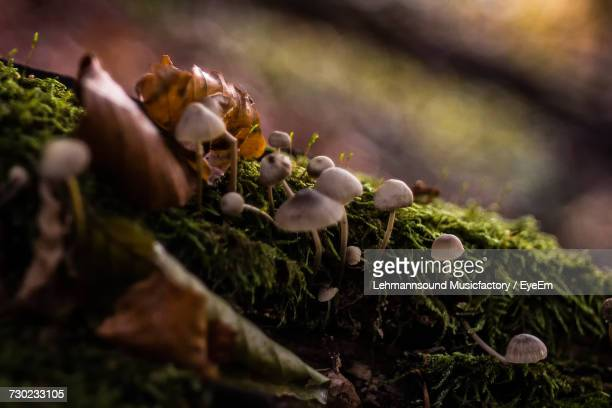 close-up of flowers growing outdoors - magic mushroom stock pictures, royalty-free photos & images