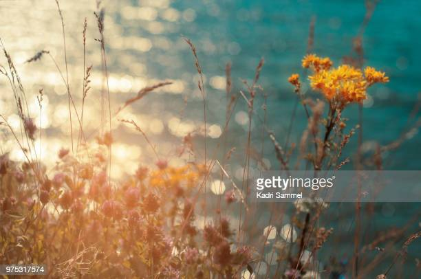 close-up of flowers, harjumaa, estonia - harjumaa stock pictures, royalty-free photos & images