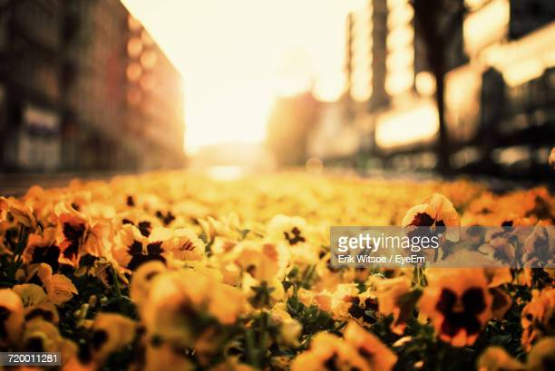 Close-Up Of Flowers In City During Sunset