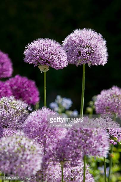 close-up of flowers in the gardens at hutton-in-the-forest, penrith, cumbria, england - long stem flowers stock pictures, royalty-free photos & images
