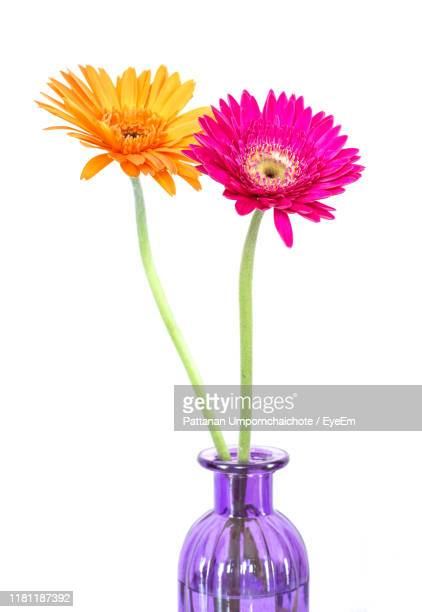 close-up of flowers in vase against white background - gerbera stock pictures, royalty-free photos & images
