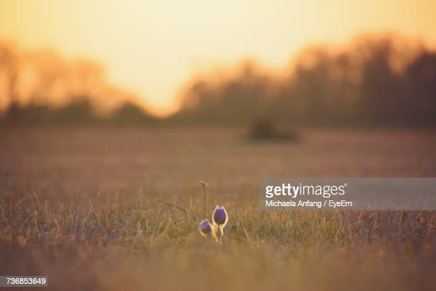 close-up of flowers on field against sky - anfang stock pictures, royalty-free photos & images